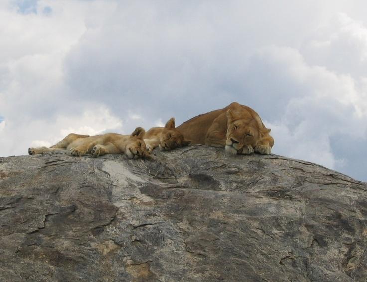 Lazy Lions, Tanzania #greatwalker