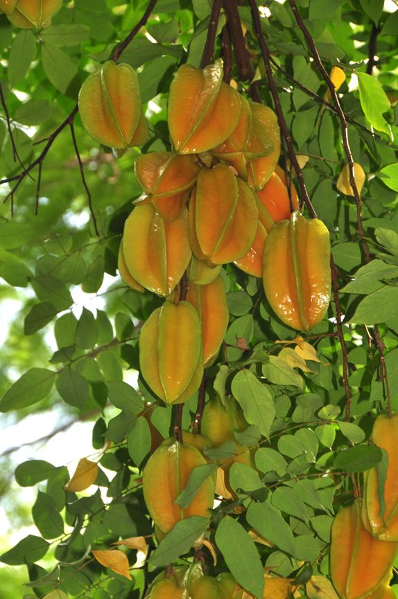 Starfruit (carambola) tree, delicious fruits preceded by flower clusters that look like little pink hibiscus blossoms.