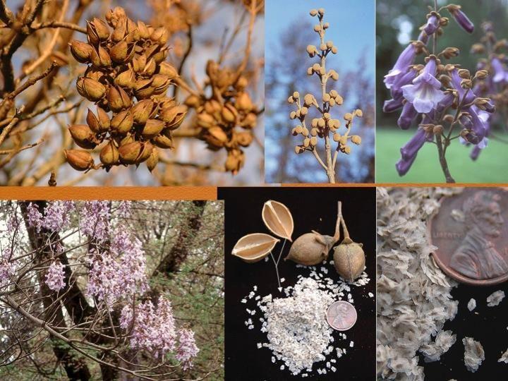 Paulownia tomentosa empresstree Bignoniaceae
