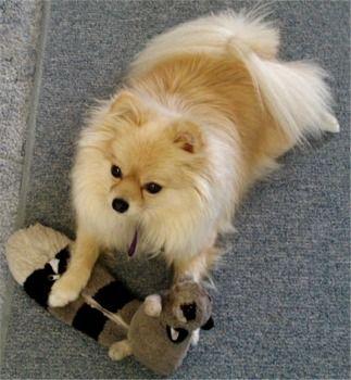 Pomeranian Dog | Pomeranian Puppies, Pomeranian Breeders, Pomeranians For Sale ...