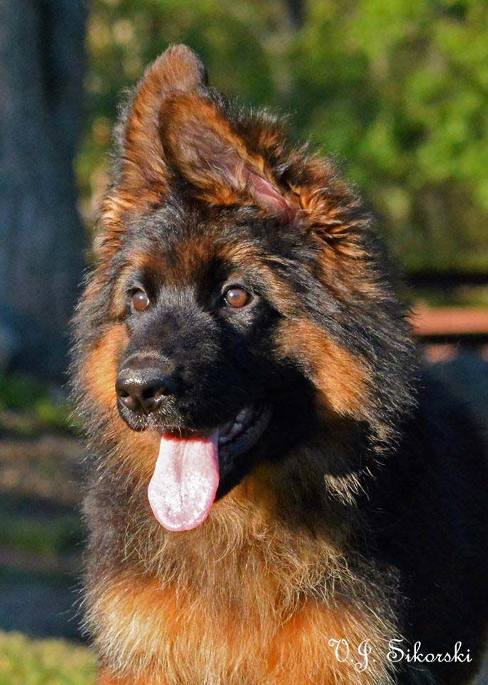 Xavi Vom Grunwald Haus Long Coat German Shepherd Puppy By