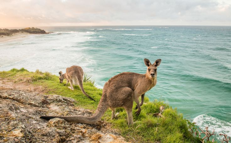 Image result for stradbroke kangaroo