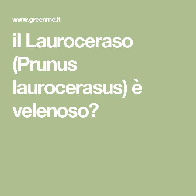 il Lauroceraso (Prunus laurocerasus) è velenoso?
