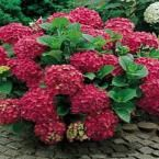 Endless Summer 1 Gal. BloomStruck Hydrangea-26351 - The Home Depot