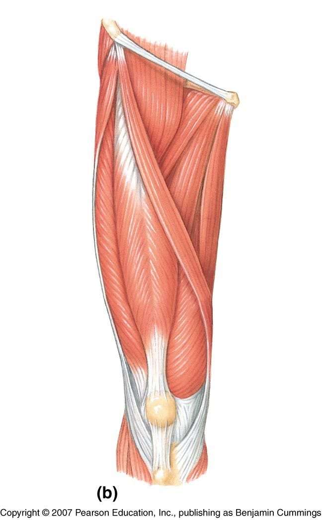 leg muscle diagram labeled - Google Search | sports med ...