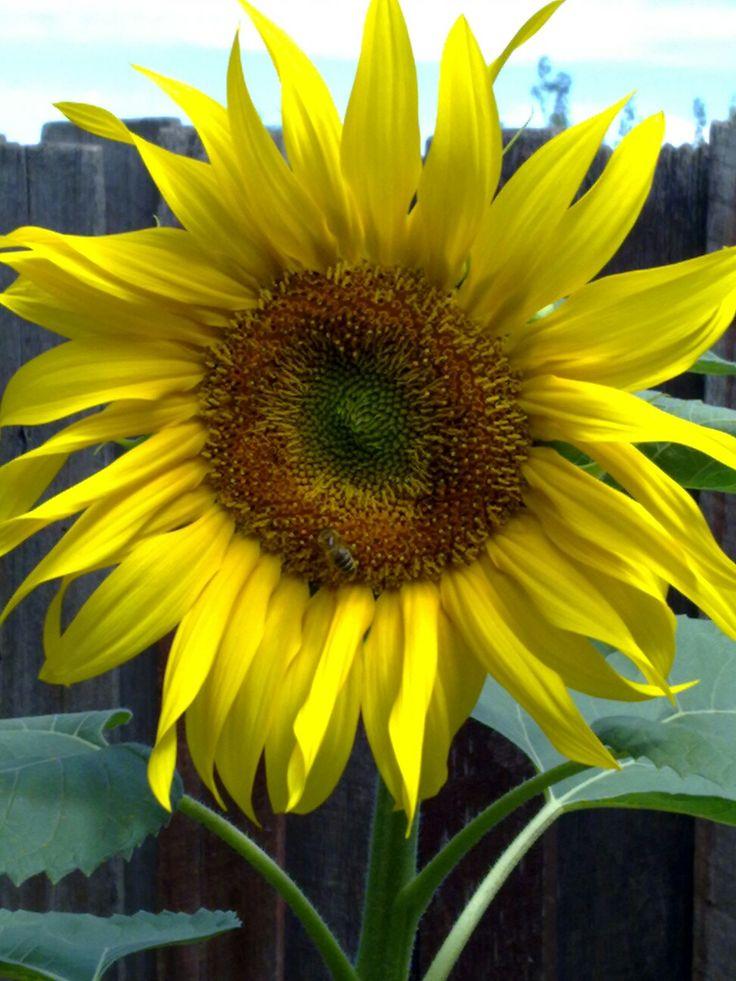 Sunflower which I grew