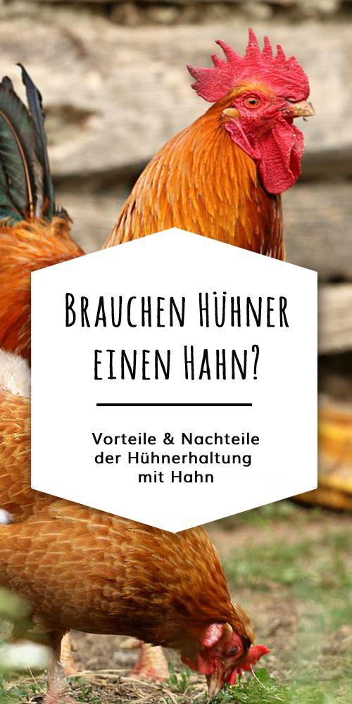 Les poules pondent-elles leurs œufs sans robinet? Une poule peut-elle couver sans coq? Que faire…   – Hühner & Hahn / Verhalten / Pflege / Grundkenntnisse / Gefahren
