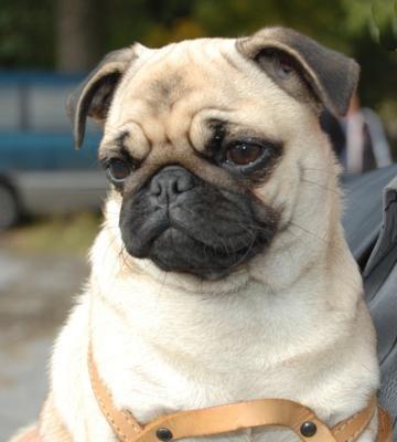 PugDogs, Microjob Website,  Pug-Dog, Pugs Crazy, Pretty Animal, Fur Baby, Pugs Life, Awwww, Box Pies