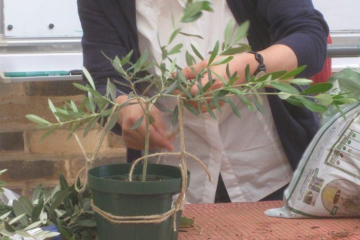 岡井路子先生によるオリーブの上手な育て方 樹形づくり 剪定 緑枝