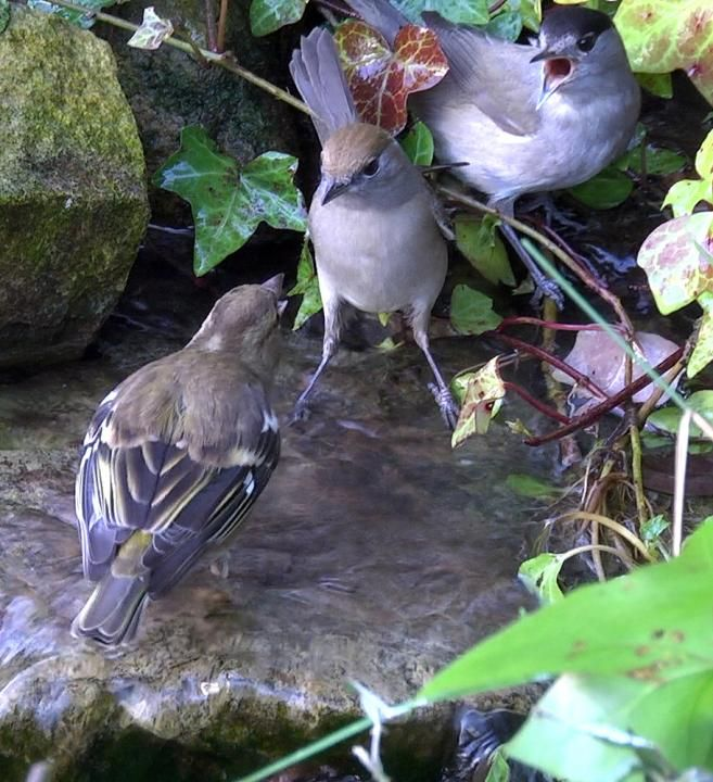 Blackcap (Sylvia atricapilla) A pair facing a female Chaffinch at a bathing spot.