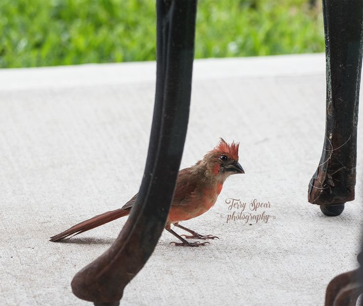 A male baby cardinal being curious. A wren on sleeping dragon. (sounds like a book title) Okay, so propagating stuff isn't easy for me. Maybe I should read the directions again? Daddy cardina…