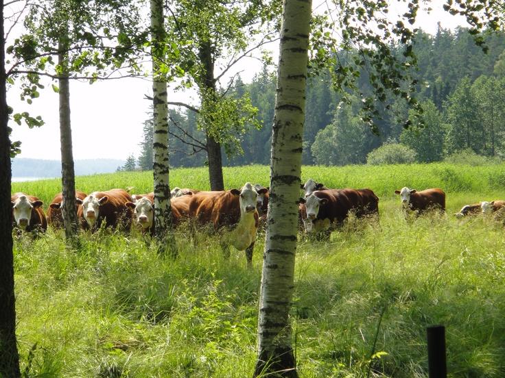 Hereford- luomulihakarjaa rantalaitumella. Hereford-karja tulee toimeen hyvin pelkällä heinällä.