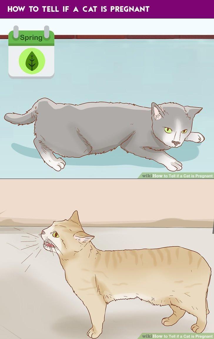Index Of Pregnant Cat Kitten Formula Cat Breeder