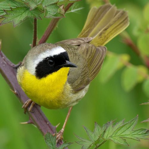Common Yellowthroat. These guys are everywhere. They always respond to the pish call. ALWAYS. I often find them acting more like sparrows than warblers, sitting in bushes.