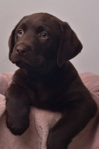 Labrador puppy Dorus Brown lab