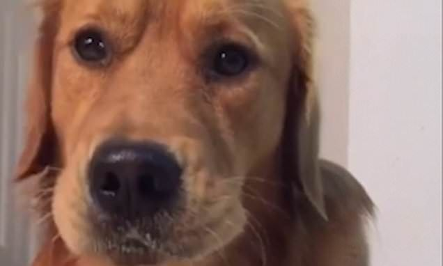 Golden Retriever Happily Tucks Into A Selection Of Peppers Greens