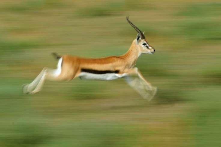 Gazellen-Gazelles - Serengeti-Wildlife Images by Uwe Skrzypczak