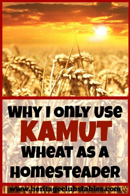 In my opinion, KAMUT wheat is superior than the modern wheat available for many reasons. Here are my eight reasons why I only use Kamut wheat. Do you agree?