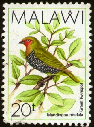 Malawi - El Pinzón Dos Puntos de Lomo Verde, es un ave estríldida encontrada en la región sub-sahariana de África. Es monoespecífico del género Mandingoa