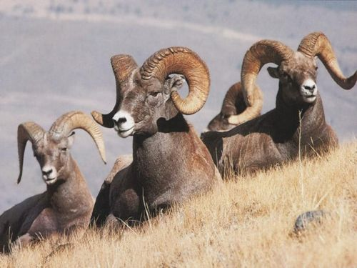 The bighorn sheep is the state animal of Nevada.