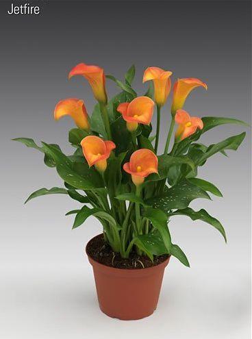Zantedeschia hybrida