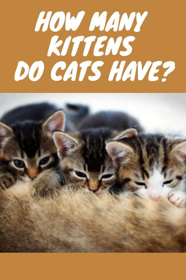 How Many Kittens Do Cats Have Kitten Tips Caring For A Kitten Kitten Care Kittens Cutest First Time Kitten Owner K Cat Having Kittens Kittens Pregnant Cat
