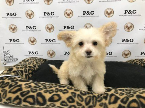 Poodle (Toy)-Yorkshire Terrier Mix puppy for sale in TEMPLE CITY, CA. ADN-59387 on PuppyFinder.com Gender: Male. Age: 9 Weeks Old