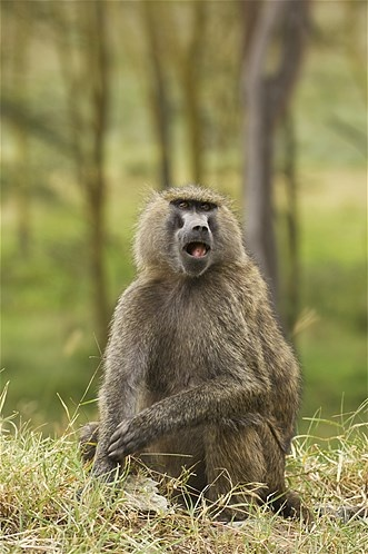 Imagem: Babuíno-anúbis (© Ariadne Van Zandbergen/Getty Images)