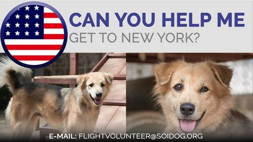 Can you help us get adopted ReeRee to her new family? If you are traveling FROM Thailand TO the USA, on BOOKED tickets with Thai Airways, All Nippon Airways (ANA), China Airlines, Qatar, Korean Air, JAL, EVA, Asiana, Air France, Lufthansa or KLM, please EMAIL flightvolunteer@soidog.org for more information. https://www.soidog.org/content/become-flight-volunteer