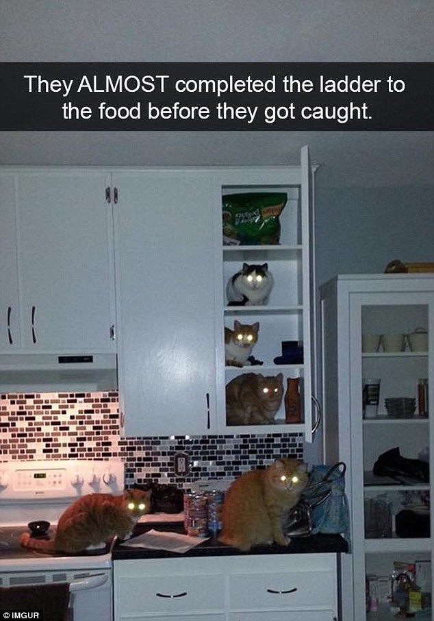 A group of cats nearly made it to the top shelf to retrieve the food they wanted but were caught by their bright eyes in the nick of time