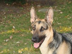 Short Haired German Shepherd: 7 Things You Want To Know