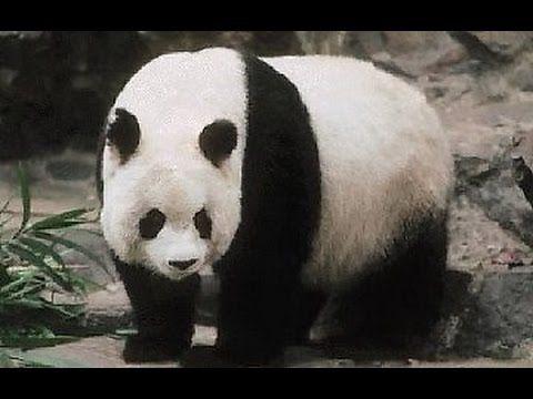 Documentaire Naissance d'un panda géant
