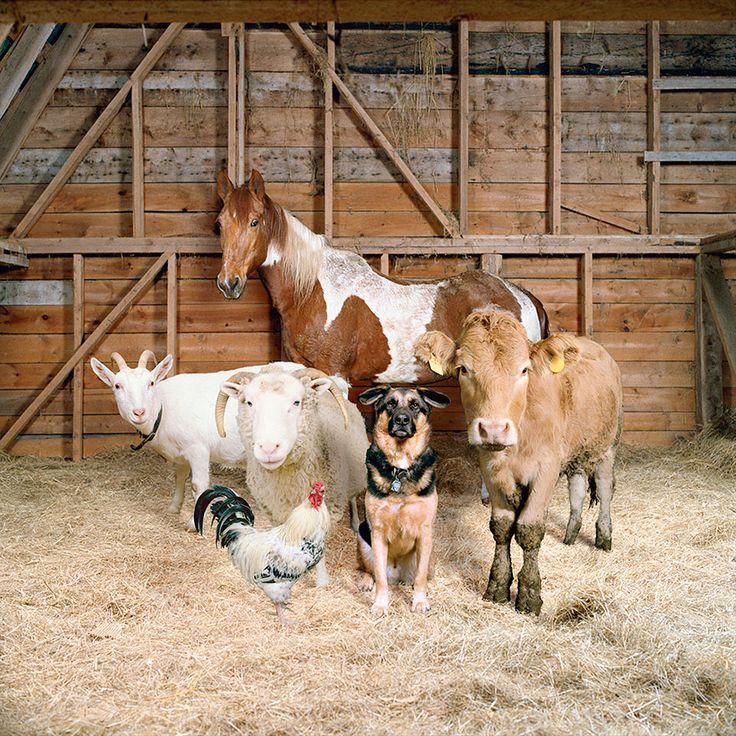 This Photographer Photographs Farm Animal Like No One Else