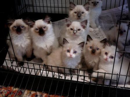 ac5009993fe4f994f07c98fc0b0b5efb Ragdoll Kittens