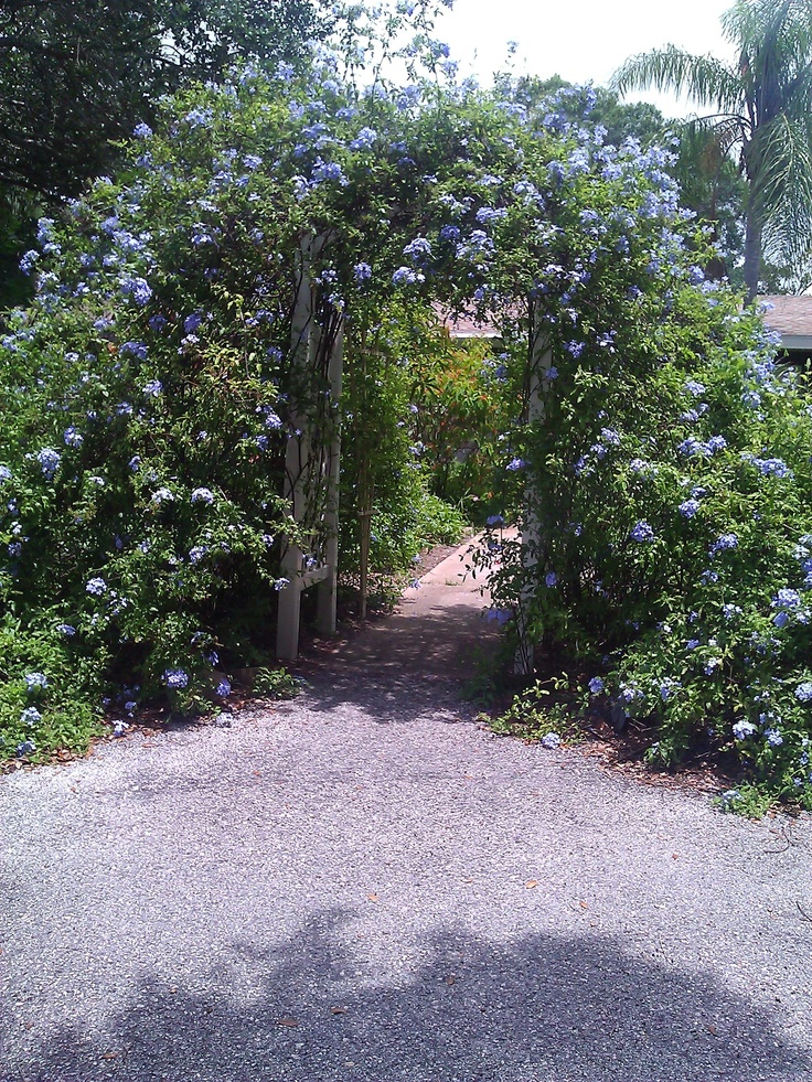 Plumbago can climb! This archwway is a perfect example