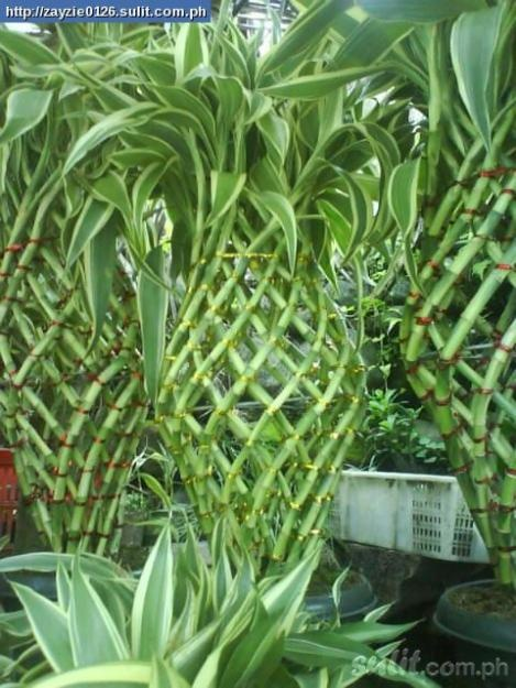 Chinese bamboo and all kinds of fortune plants beautiful for Indoor gardening diana yakeley
