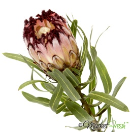 Protea nerifolia - pale pink-peach with chocolate tips to the petals. Stunning. Available March to August