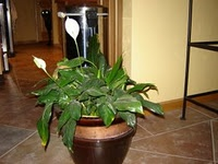 This information page for the Peace Lily may be more helpful than the first.