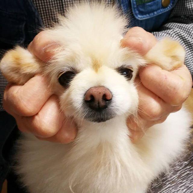 ヤギコスしてもらったっつって〜🤣🐐✨ . なんか… なんか〜 なんかちがくない❓❓❓ . 今日は11月1日ワンワンワンで犬の日だから、ボク犬のまんまで良くないでしゅか? . . #なんの日 #犬の日 #ハロウィン終わった #ワンワンの日 #ポメラニアン #ポメラニアン部 #ポメラニアン大好き #愛犬 #ふわもこ部 #ふわふわ #もふもふ #もっふり #癒やし犬 #何やってもかわいい