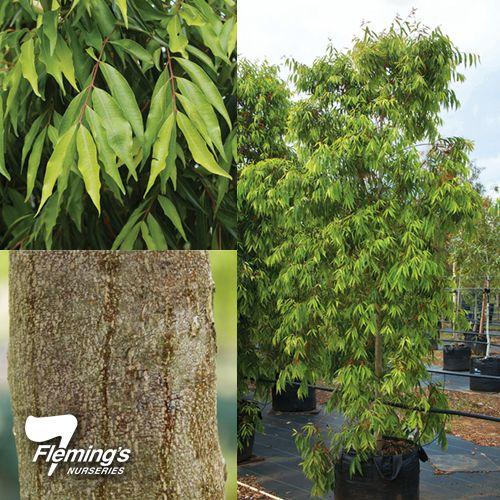 Waterhousia floribunda as evergreen native screening plant   www.flemings.com.au