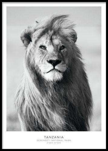 Lion, poster. Snygg poster med lejon i svartvitt. En snygg svartvit poster med ett lejon. Ett riktigt snyggt och kraftfullt motiv som passar till många rum och inredningsstilar.