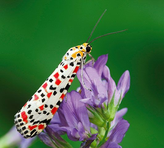Look at those colours! Credit: Robert Thompson/Butterfly Conservation A crimson speckled moth. Increasing numbers of rare migrant species are believed to have arrived in the UK due to the hot summer and warm autumn