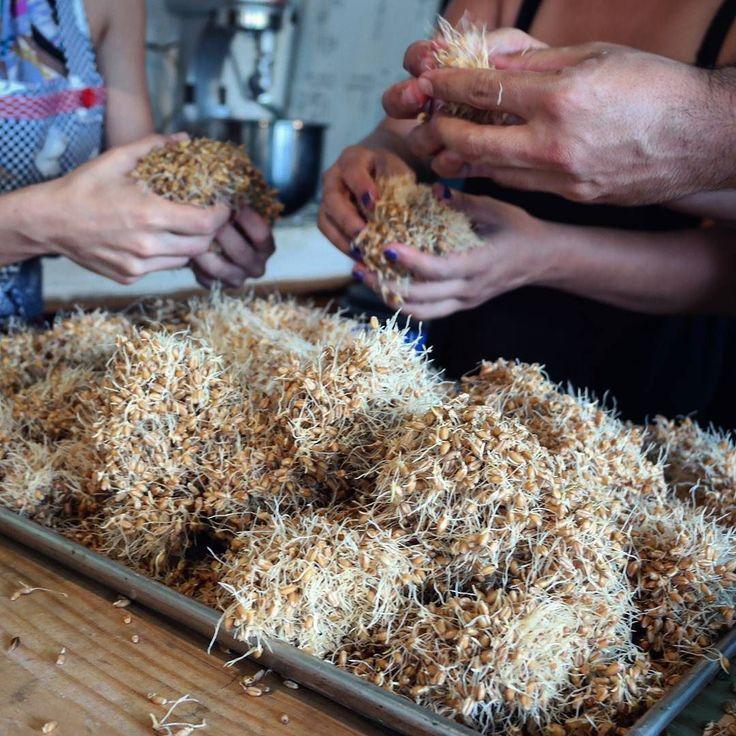 """El #malteado es un proceso que le hará la vida más fácil a las levaduras Cómo? Po qué?  Porque  cuando el cereal germina se """"liberan enzimas que desdoblan los polisacáridos del grano en azúcares solubles"""" palabras de @almasdelacomarca. La molienda hace que sea más fácil de diluir la maltosa y las levaduras aprovechan las azúcares para multiplicarse más rápido.  En esta imagen vemos el """"esmoñado"""" del trigo germinado . Le sigue el secado y la molienda. by pan_comido"""