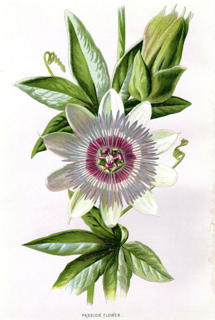 1887 antique botanical print passion flower by for Botanic fleurs artificielles