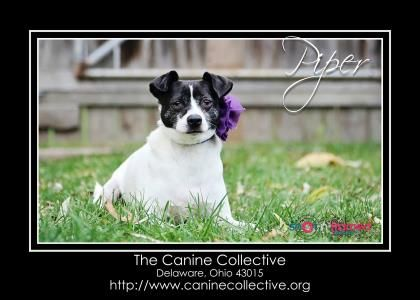 4 / 17    Petango.com – Meet Piper, a 3 years 6 months Chihuahua, Short Coat / Terrier, Jack Russell available for adoption in Delaware, OH Contact Information Address  4365 Maynard Road, Delaware, OH, 43015  Phone  (614) 530-5092  Website  http://www.caninecollective.or g  Email  info@caninecollective.org