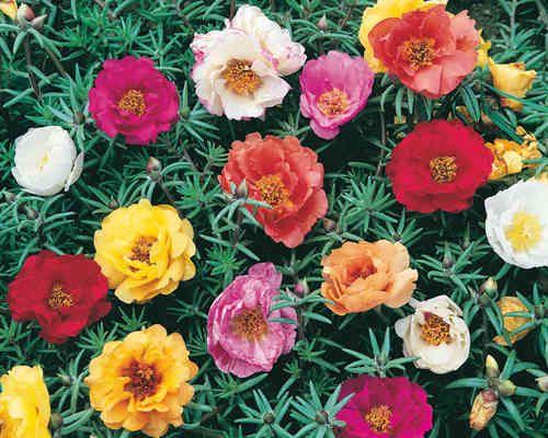 pourpier fleur | Fleurs annuelles - Fleurs du Beaumont