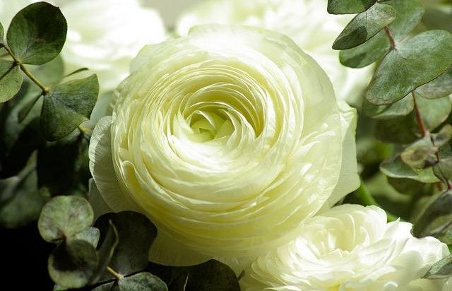 #fiore #ranuncolo #petali #petaloso #petalosi #fiori #bianco