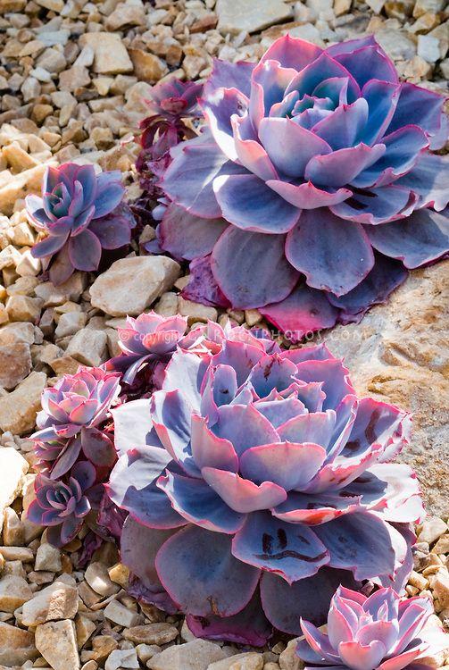 Echeveria 'Afterglow' succulent plant, fleshy leaves, purple and pink desert drought tolerant