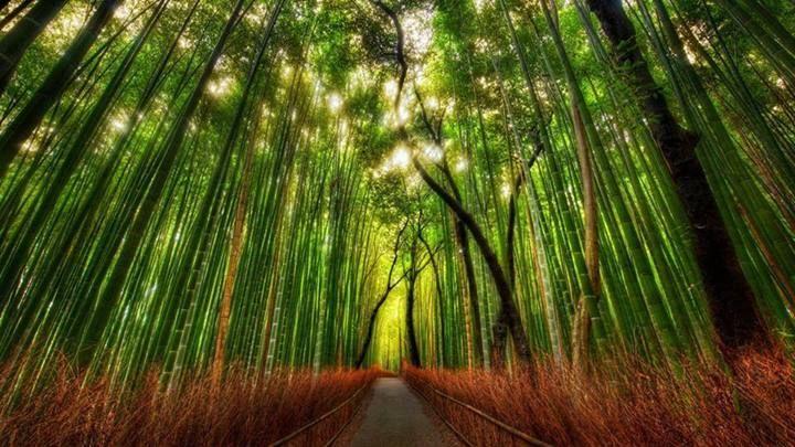 Sagano Bamboo Forest, Japão.