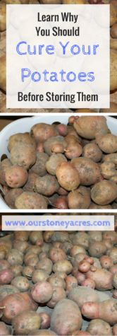 Curing potatoes before  storing